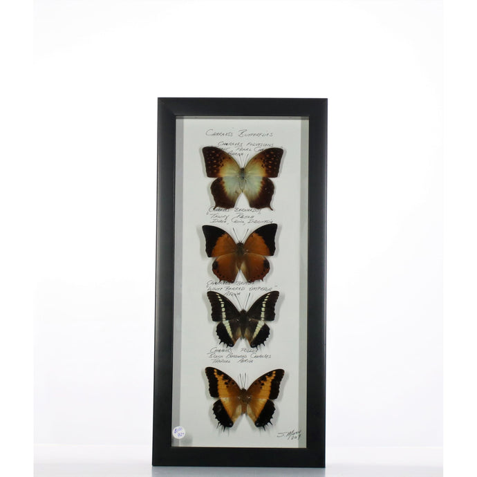 Charaxes Butterflies 6x14 Black #927 Framed Art - Insecta Etcetera