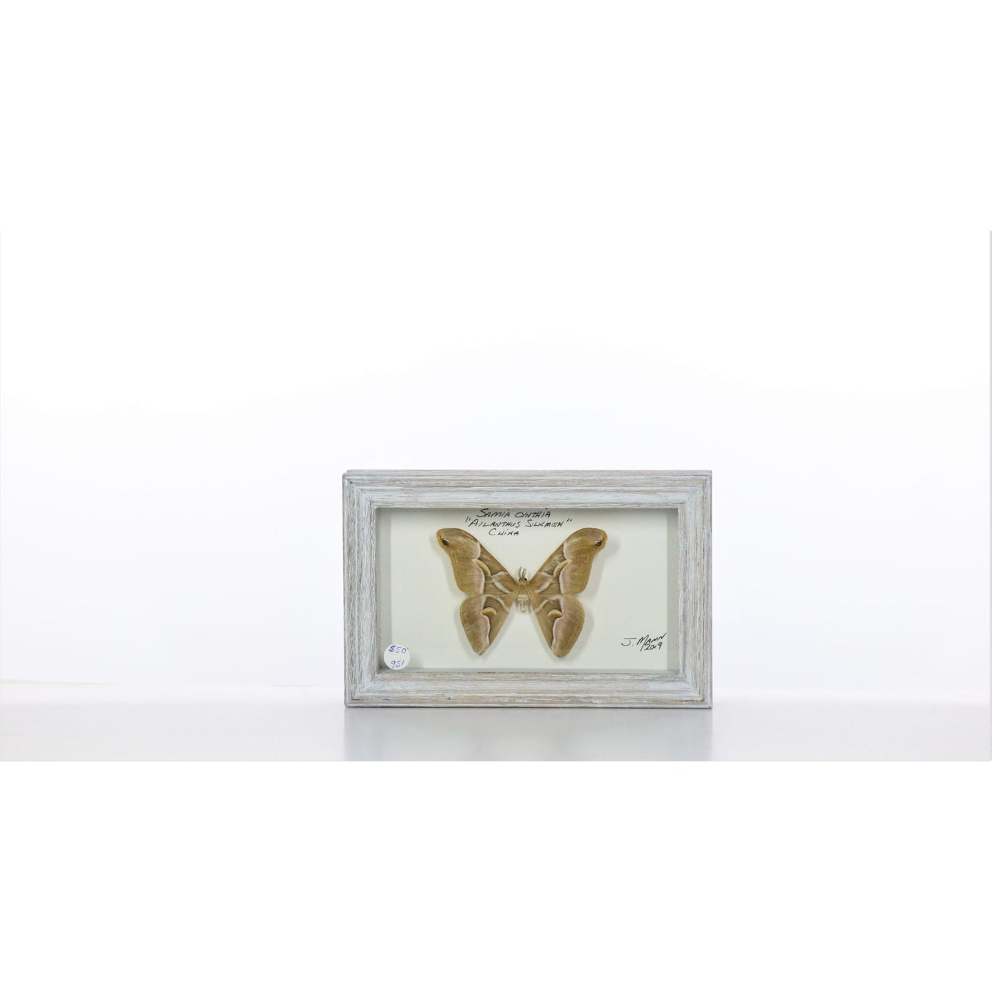 Cynthia Moth 4x7 Gray #951 Framed Art - Insecta Etcetera