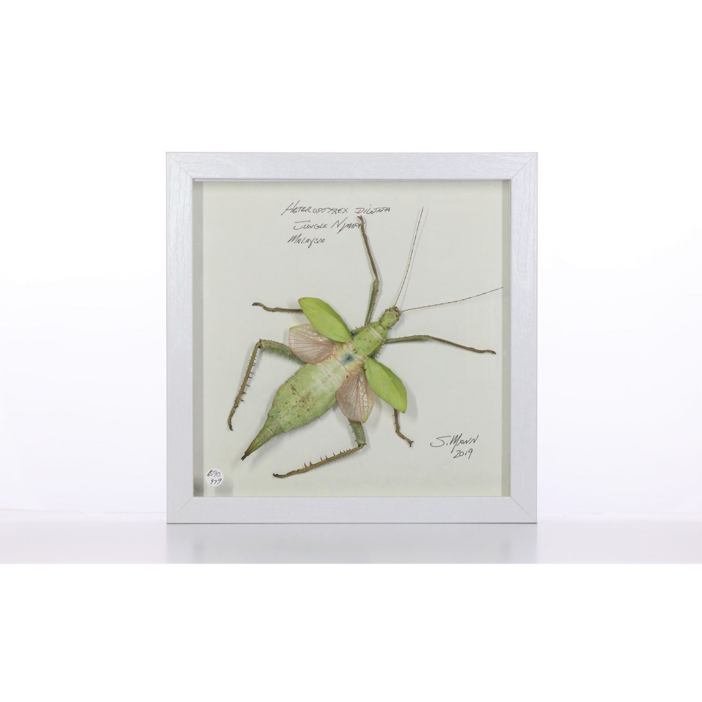 Jungle Nymph 9x9 White #979 Framed Art - Insecta Etcetera
