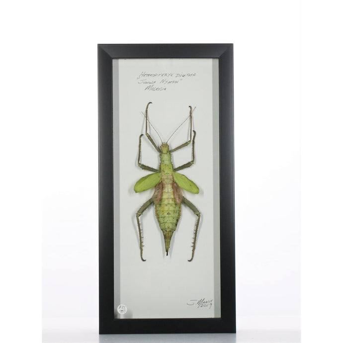 Jungle Nymph 6x14 Black #980 Framed Art - Insecta Etcetera