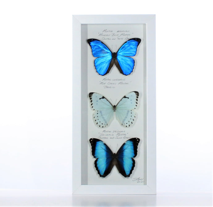 Three Morphos 6x14 White #229 Framed Art - Insecta Etcetera
