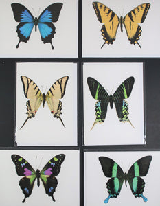 "Greeting Card Set ""Swallowtails"" GCSET7 - Insecta Etcetera"