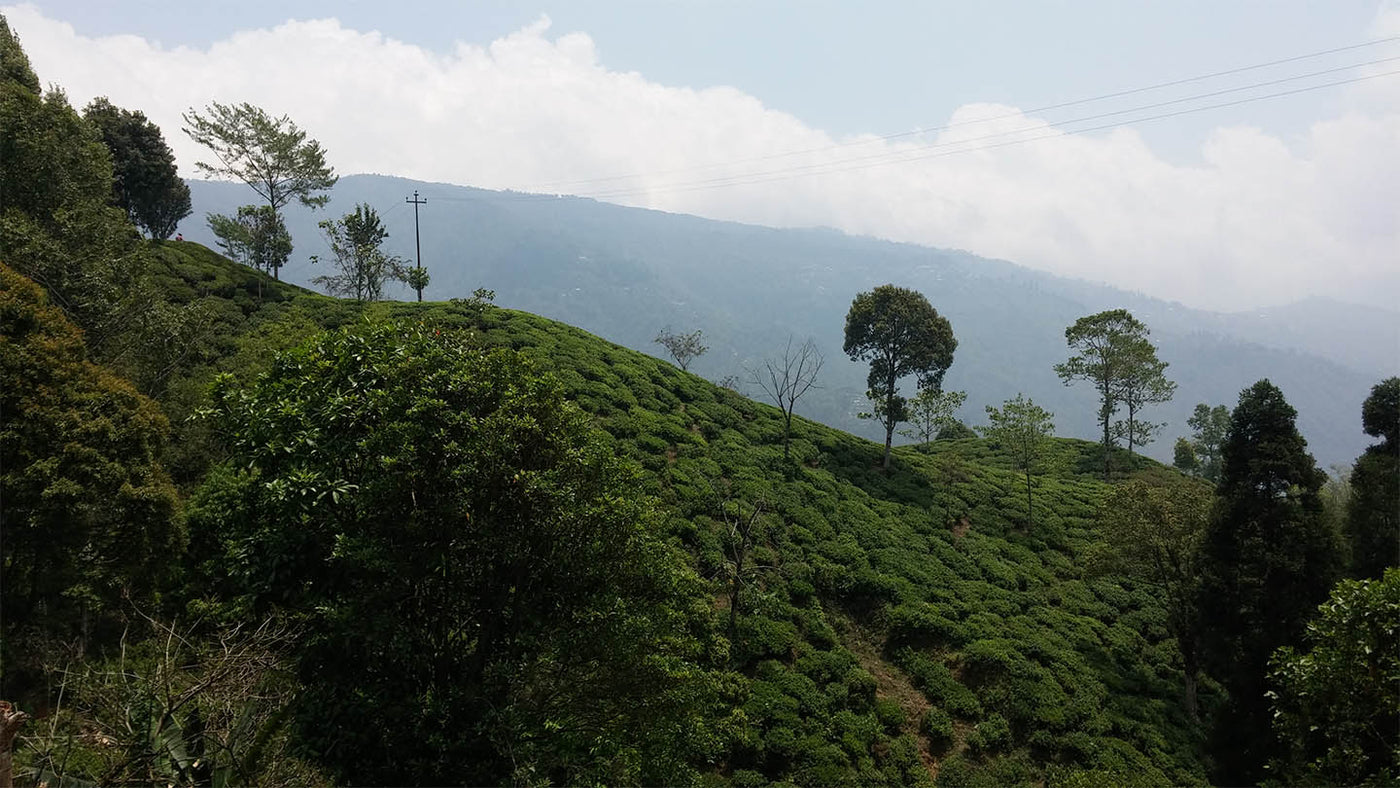 plantation Darjeeling printemps