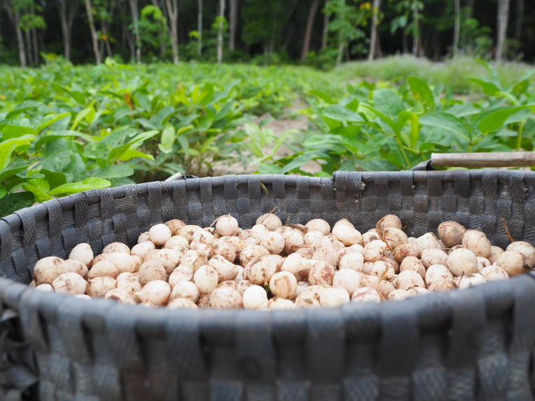Pleased to meet you - my name is Bambara groundnut!