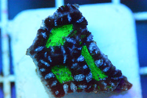 WYSIWYG! - Neon Green Mouth w/ Teal Stitching Acan
