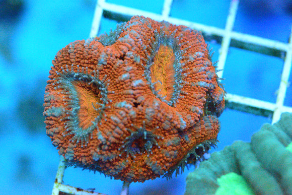 WYSIWYG! - Orange & Red Acan
