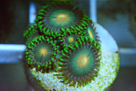 WYSIWYG! - Green Bay Packers Zoa