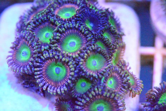 Zoa - Candy Apple Pink Paly