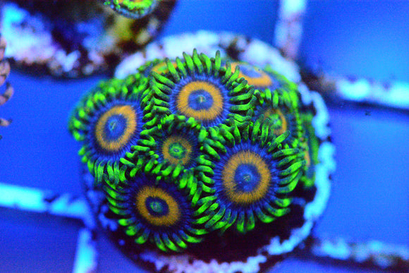 Golden Eagle Eye Zoa