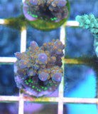 Purple Acropora Frag