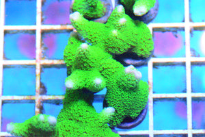 Montipora Digitata Ultra Green Frag