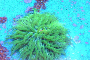 WYSIWYG - Orange Mouth Plate Coral