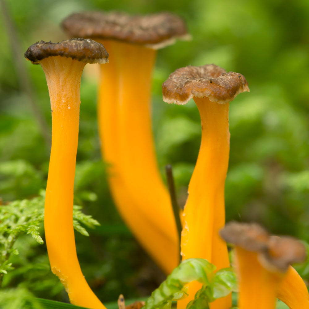 The Yellowfoot Chantarelle, an Autumn Delicacy