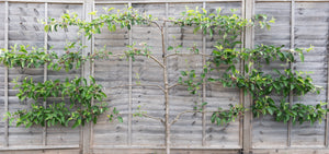 Apple Trees (Espalier/ wall-trained)