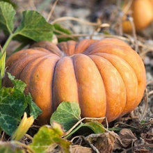 Load image into Gallery viewer, Fairytale Pumpkin (Local)