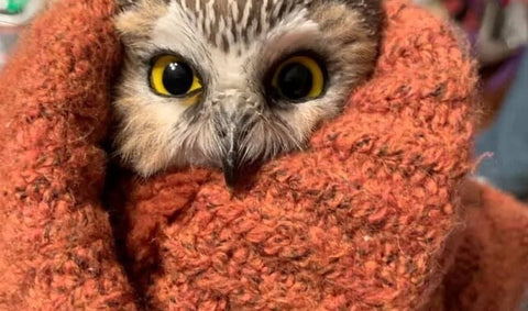 Owl wrapped in blanket