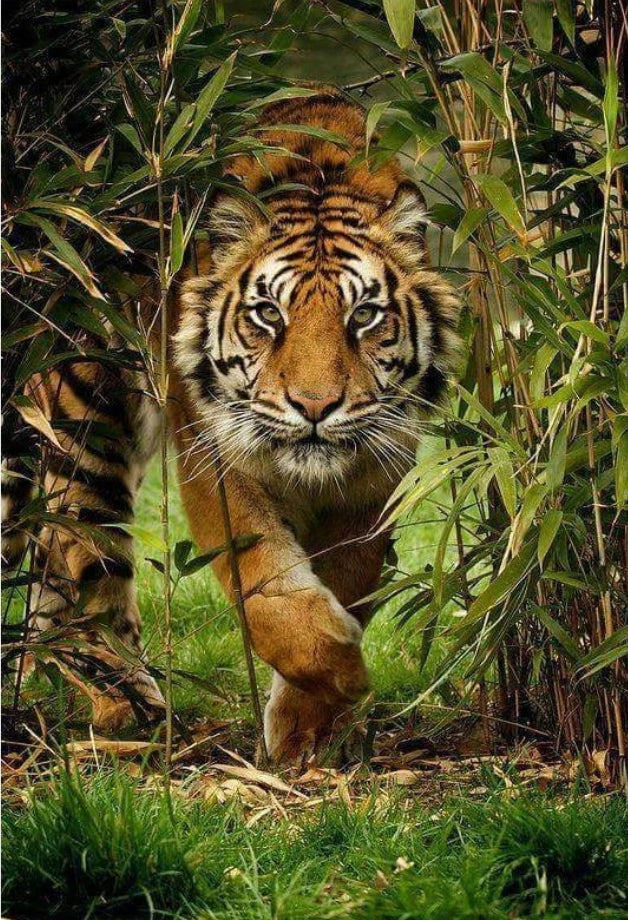Animal Tiger Paint By Numbers Kits UK For Adult HQD1266