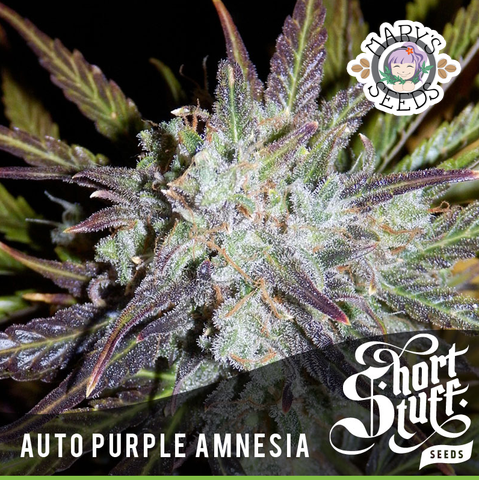 Auto Purple Amnesia ♀