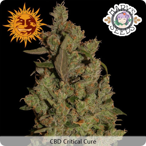 CBD Critical Cure ♀