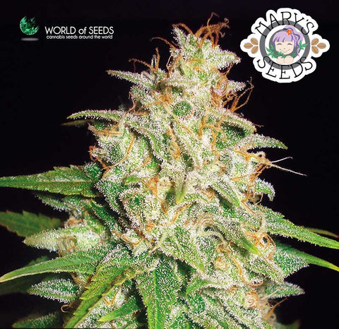 Mazar x White Rhino Seeds ♀