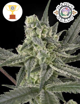 Old School (UK Cheese x Black Domina) ♀