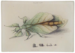 Leaf Insect Tray - Mag.Pi