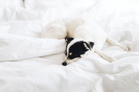 Jack Russell Dog On White Cotton Sheets