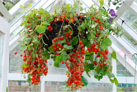 Grow Tomatoes In A Hanging Basket