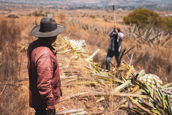Francisco watches as his son, Jose Javier cuts maguey.