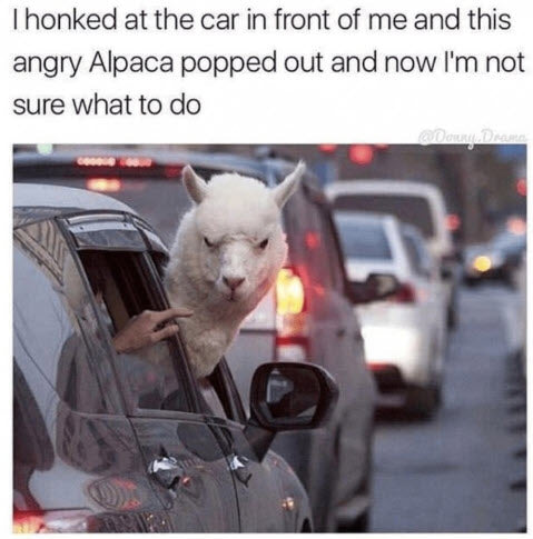Funny Animal Meme Alpaca Hanging Head out of Window