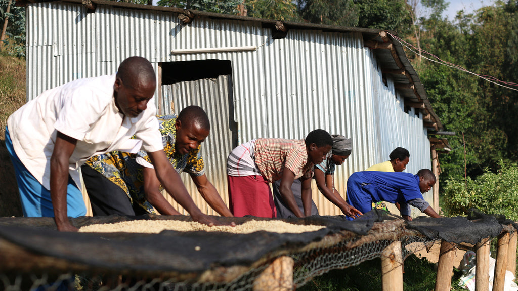 Rwanda - COOPAC - COOPROCAKI - Kabirizi Washing Station  [Certified Organic and Fair Trade]
