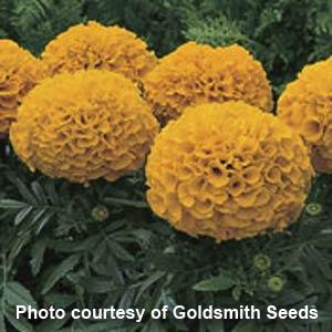 Marigold - Multiple Varieties