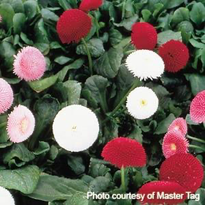 Bellis - Tasso Mix