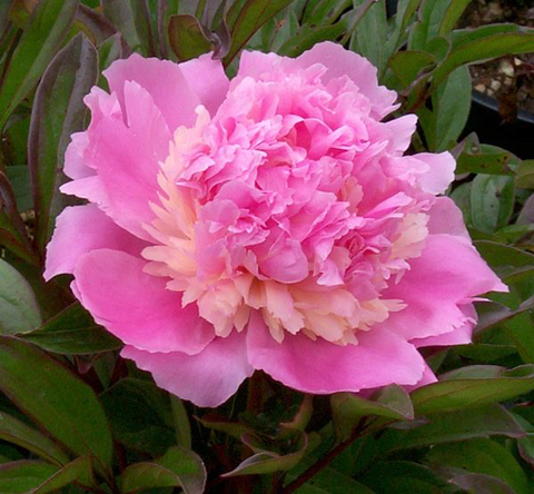 Peony (White with Variation) - Sorbet