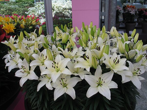 Lily  (Pot Lily) White - Tiny Crystal White