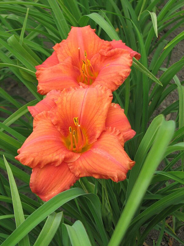 Daylily  (CORAL) - South Seas