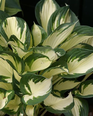 Hosta - Fire and Ice