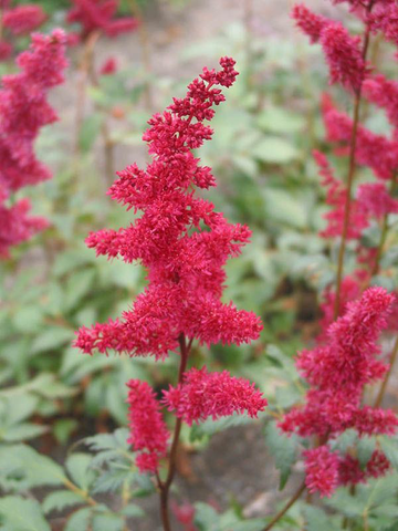 Astilbe (Red) - Fanal