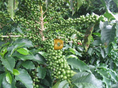 Green Coffee Nibs for Weight loss (Organic) Contains Chlorogenic Acid