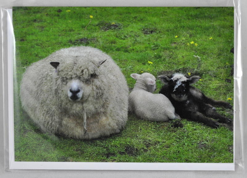Single Sheep Greetings Card - 'Summer' with lambs
