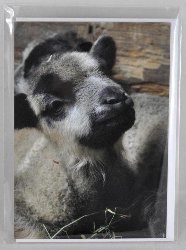 Single Sheep Greetings Card - 'Badger'