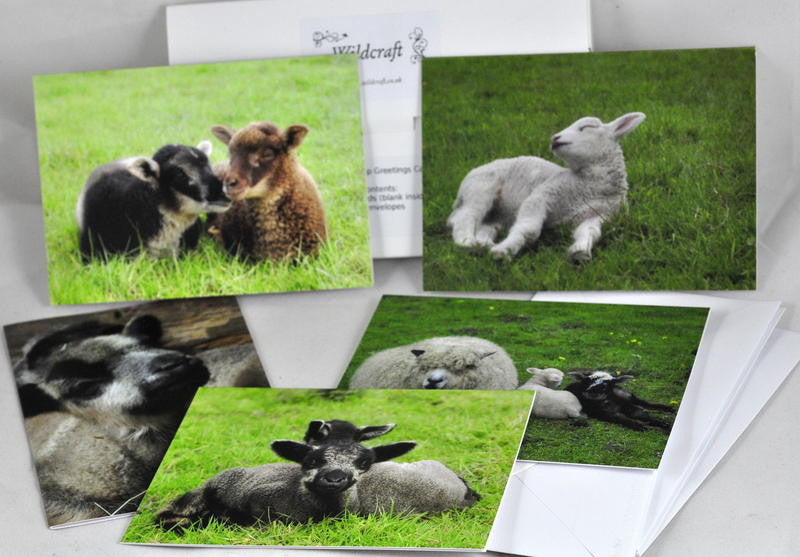 Note Card Set - Summer Sheep