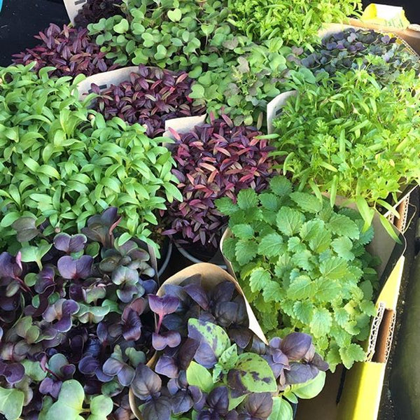 wINDOWSILL-hERBS-mICROHERBS