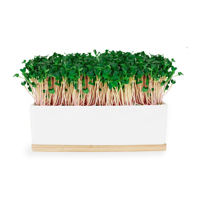 URBAN GREENS Windowsill Mini Garden White - Kale Sprouts
