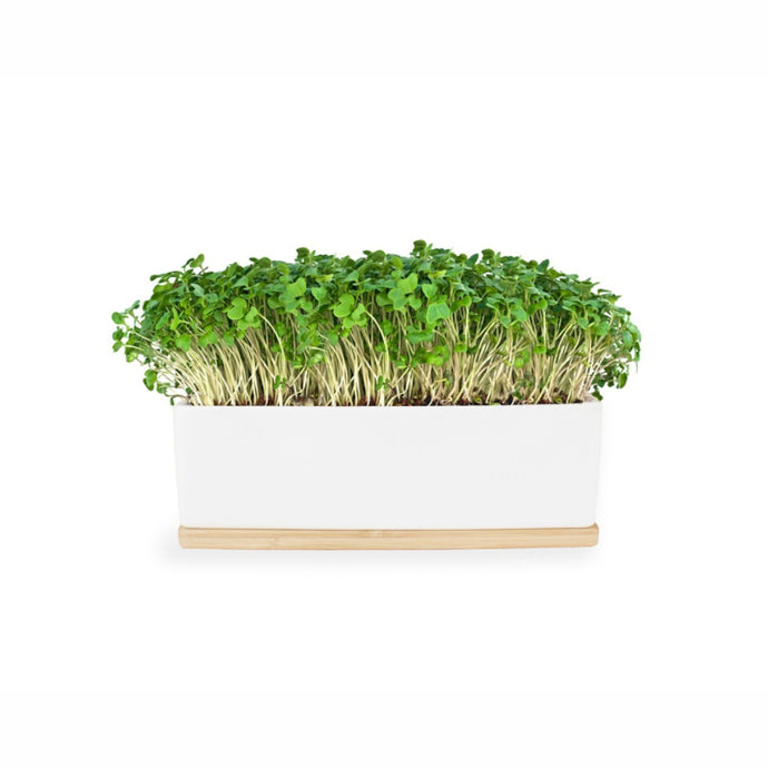 URBAN GREENS Windowsill Mini Garden White - Mustard Sprouts