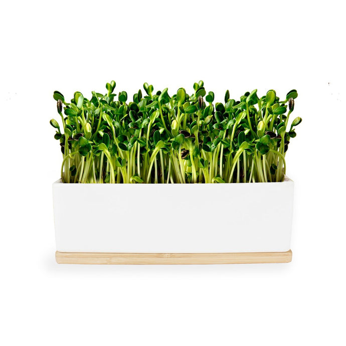 URBAN GREENS Windowsill Mini Garden White - Sunflower Sprouts