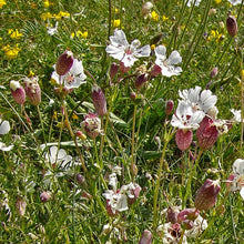 Load image into Gallery viewer, Seeds - Sea Campion