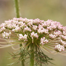 Load image into Gallery viewer, Seeds - Wild Carrot