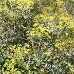 Seeds - Fennel