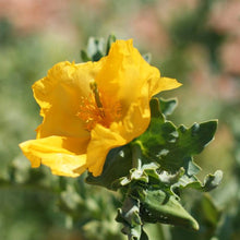 Load image into Gallery viewer, Seeds - Yellow Horned Poppy